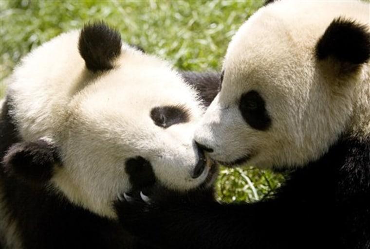 China Expo Pandas