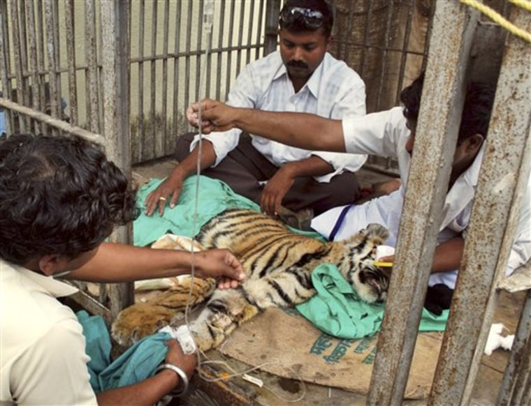 India Tiger Transfusion