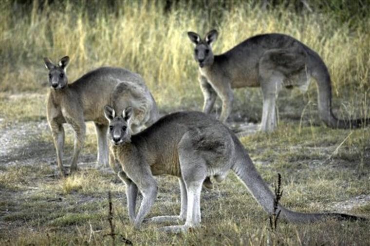 Australia Kangaroo Killing