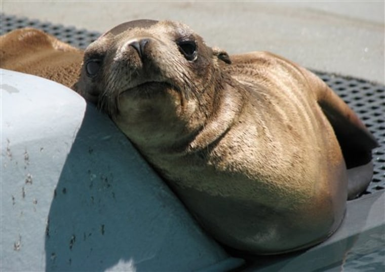 Wayward Sea Lion