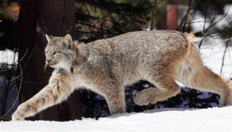 Lynx Fight