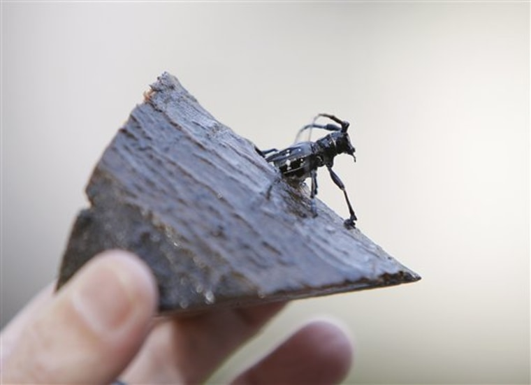 A wood-devouring Asian longhornedbeetle is displayed.