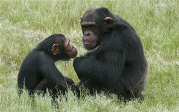 Chimpanzees sit in an enclosure at the Chimpanzee Eden rehabilitation center, near Nelspruit, South Africa, in this 2011 photo. A study of chimps and orangutans released on Monday finds the same pattern of changes in happiness through life as many studies find in people.