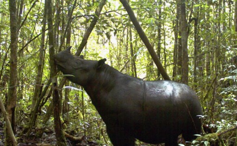 In this undated photo released by Leuser International Foundation, a Sumatran rhino roams at Gunung Leuser National Park in Aceh province, Indonesia.