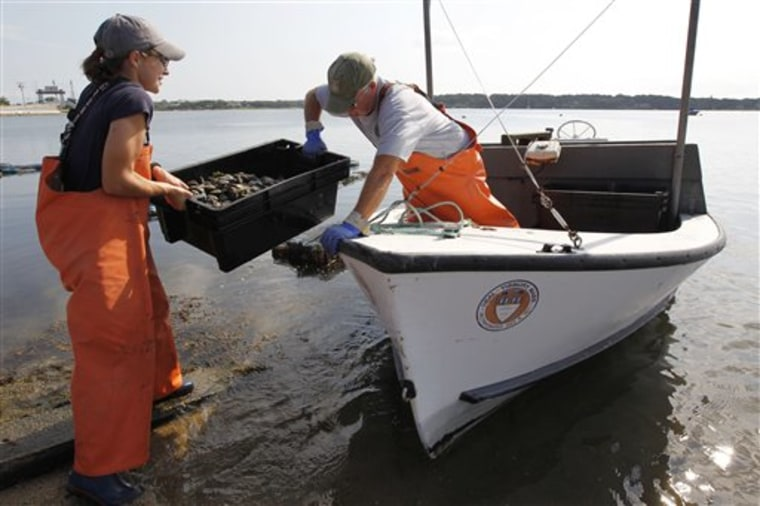 Tisbury, Mass., Shellfish Constable Danielle Ewart, left, and Deputy Constable Fred Benson prepare to release scallops back into the wild Friday in Vineyard Haven, Mass., on the island of Martha's Vineyard. The scallops, placed in cages to spawn, could be killed if left in the containers during a violent storm.