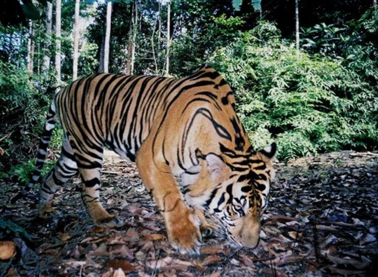 INDONESIA TIGERS  SHRINKING  HABITAT