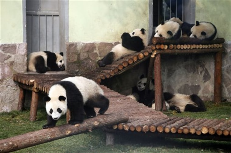 Panda cubs from the Wolong Giant Panda Reserve Center in Sichuan lounge at a Shanghai zoo in China.