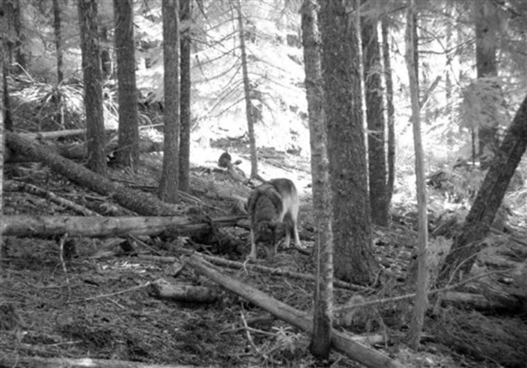 This Nov. 14 photo from a trail camera appears to show OR-7, the young male wolf that has wandered hundreds of miles across Oregon and Northern California looking for a mate and a new home.
