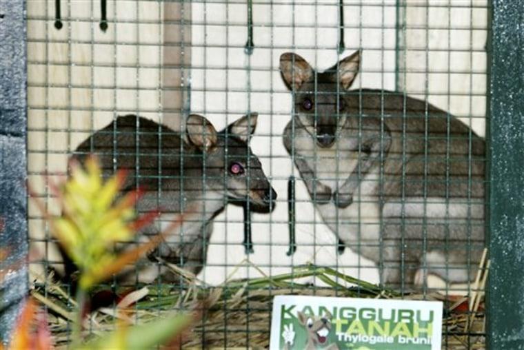 Indonesia Miniature Kangaroos