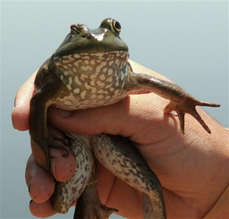 Bad Bullfrogs