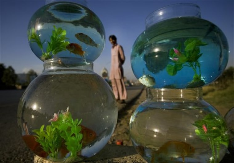 A Pakistani vendor waits for a customer next to fish jars at a roadside in Islamabad, Pakistan on Monday, May 30.