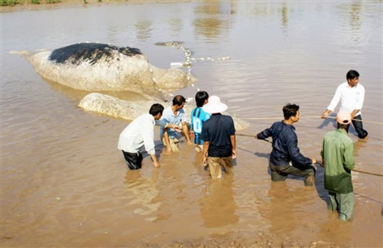 A dead whale is dragged ashore in Vinh Thinh, Vietnam, on Monday. In death, the 15-ton marine mammal has become a local celebrity.