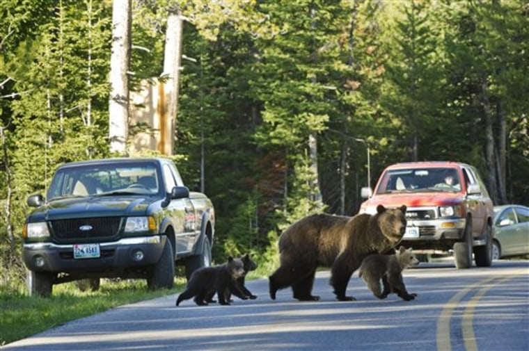 This June 2011 file photo shows grizzly bear No. 399 crossing a road in Grand Teton National Park, Wyo., with her three cubs. At nearby Yellowstone National Park, visitors can now use their phones to learn about wildlife sightings.