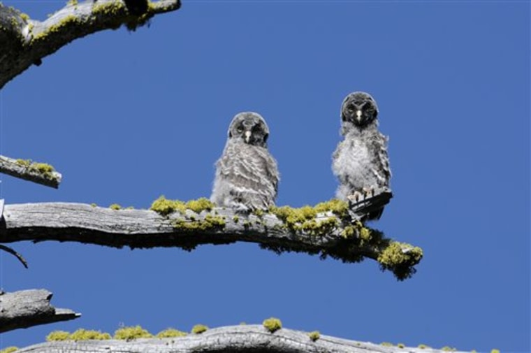 The unique Great Gray Owls of Yosemite National Park, left to evolve after glacial ice separated them from their plentiful Canadian brethren 30 millennia ago, are both a mystery and concern to the scientists charged with protecting them.