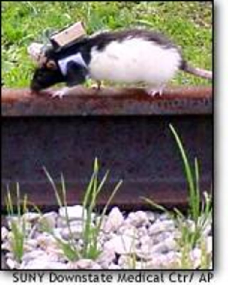 A rat wearing a remote-control device maneuvers along a railroad track in San Antonio. The remote-controlled rats could be commanded to turn, climb, jump or navigate piles of rubble.