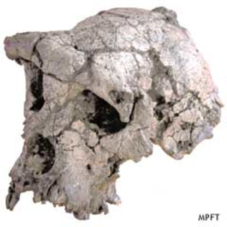 The cranium of the newly described hominid, nicknamed Toumai, has the flat face and brow ridge associated with the ancestors of humans.