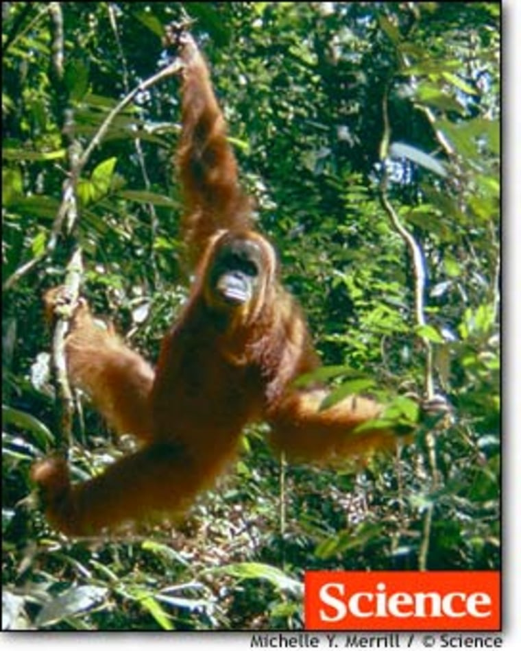 "Researchers investigated six sites in Borneo and Sumatra to document wild orangutan behaviors, including tool use and good-night ""raspberry"" sounds."