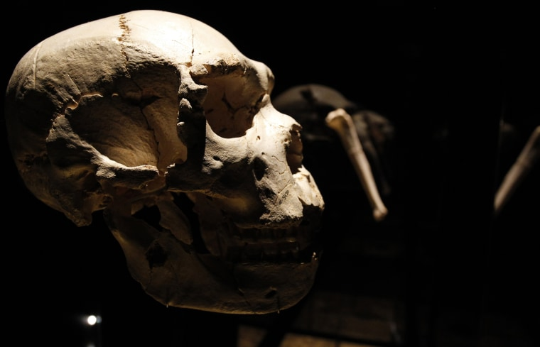 View of a skull of an adult Homo heidelbergensis on display at the Museum of Human Evolution, July 13, 2010 in Burgos, Spain.