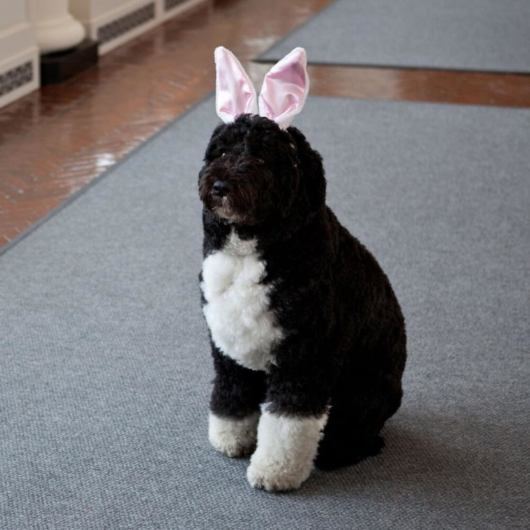 Presidential pet Bo Obama dons Easter bunny ears Sunday, March 31, 2013. (Photo via @BarackObama)