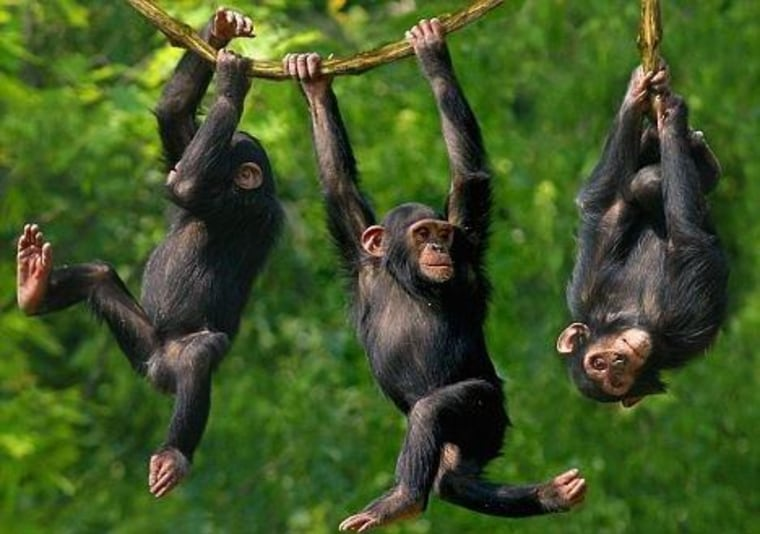 5 more things about chimps