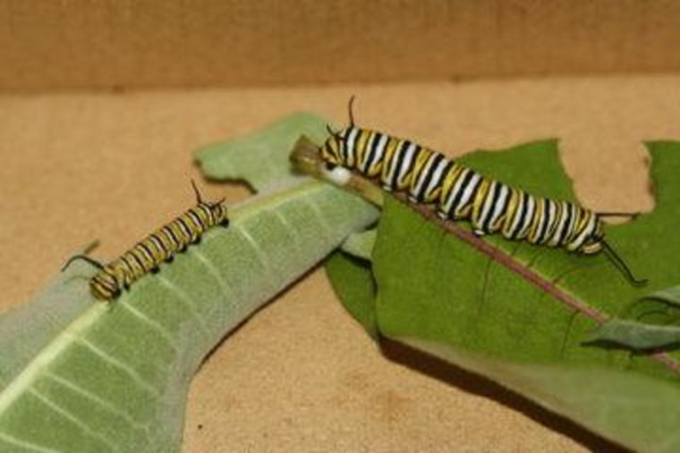 Of caterpillars and cannibalism