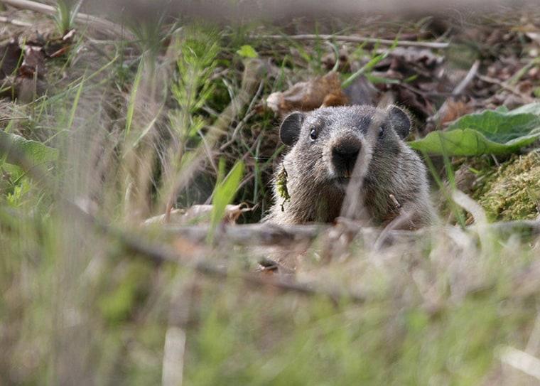 Groundhog in Toronto