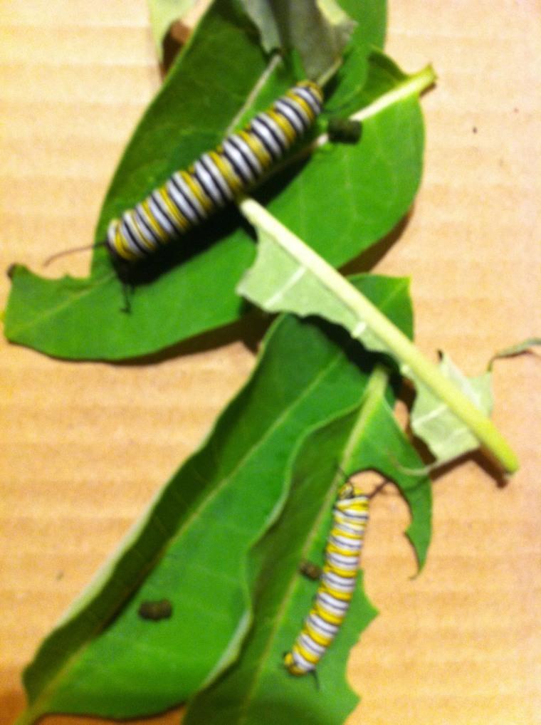 Caterpillar names: the finalists