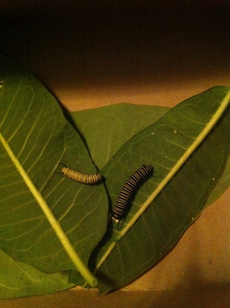 Challenge: name those caterpillars