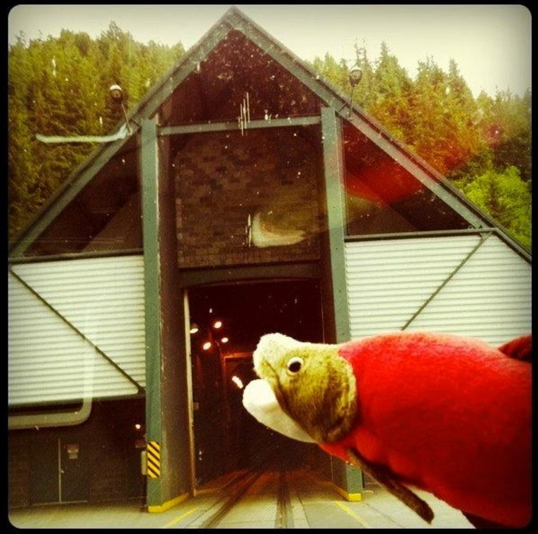Nerka the stuffed salmon at the Whittier Tunnel in Alaska. (h/t: Roll Call)