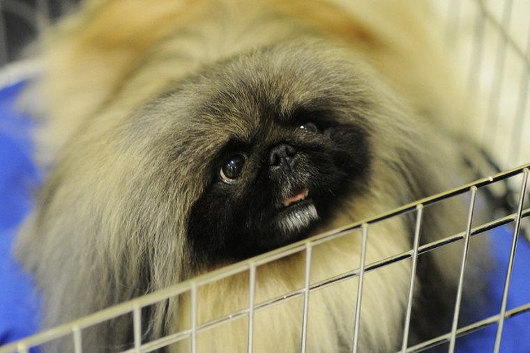 Malachy the Pekingese drops by Morning Joe to discuss his win.
