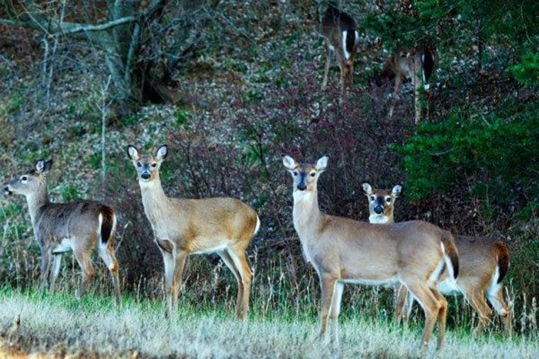 Deer roaming in through the woods of Virginia (file)