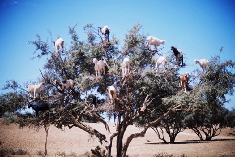 Goats or Christmas tree ornaments?