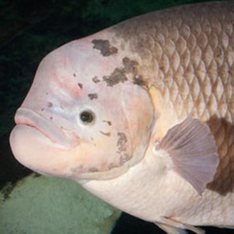Gary, a particularly big-boned gourami fish