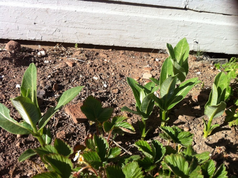 Strawberries and milkweed.