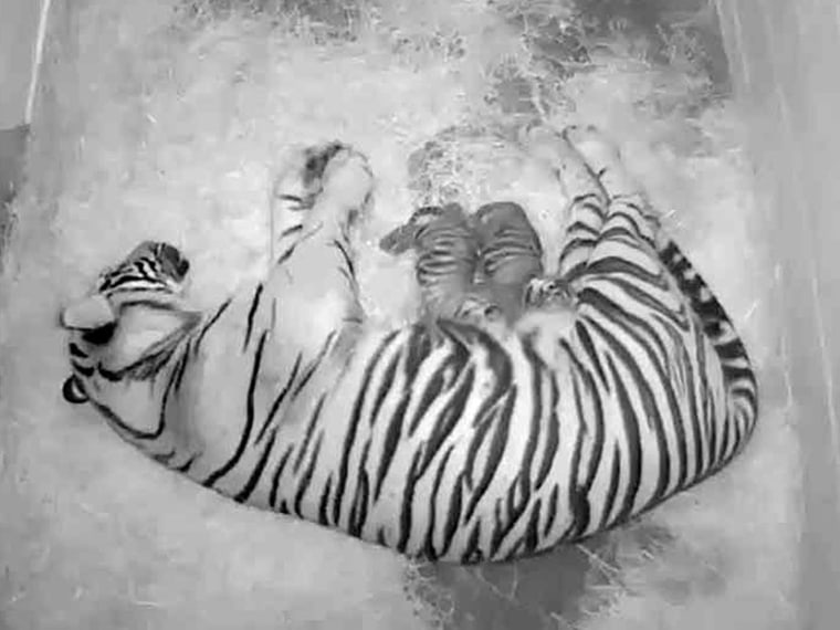A pair of Sumatran tiger cubs, with their 4-year-old mother Damai, at the Smithsonian National Zoo in  Washington, DC. The zoo announced Thursday that the cubs born to 4-year-old Damai on Monday appear to be healthy, and the new mother has been seen...