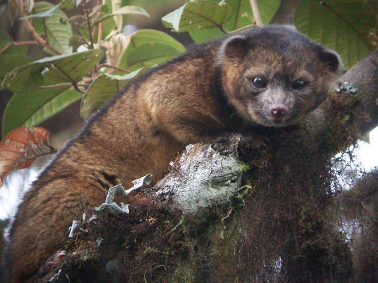 This undated photo provided by the Smithsonian Institution shows an olinguito. (Photo by Mark Gurney/Smithsonian/AP)