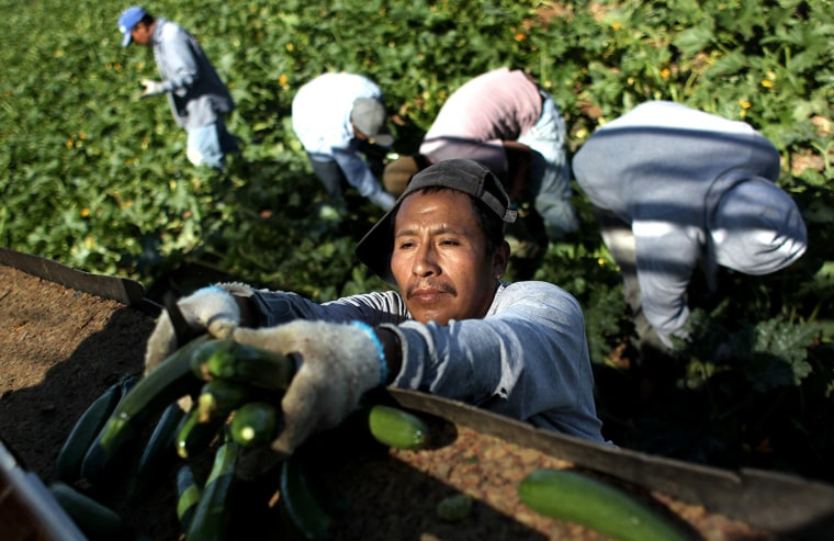 Migrant farm workers from Mexico harvest organic zucchini while working at the Grant Family Farms on September 3, 2010 in Wellington, Colorado.