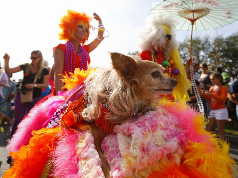 Image: A dog in The Krewe of Barkus parade is pushed around the French Quarter during the Mardi Gras 2013 celebration in New Orleans