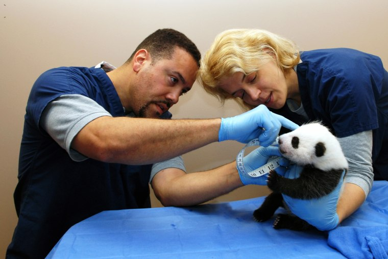 The Smithsonian's National Zoo's six-week-old panda cub is examined October 8, 2013 in Washington, DC.