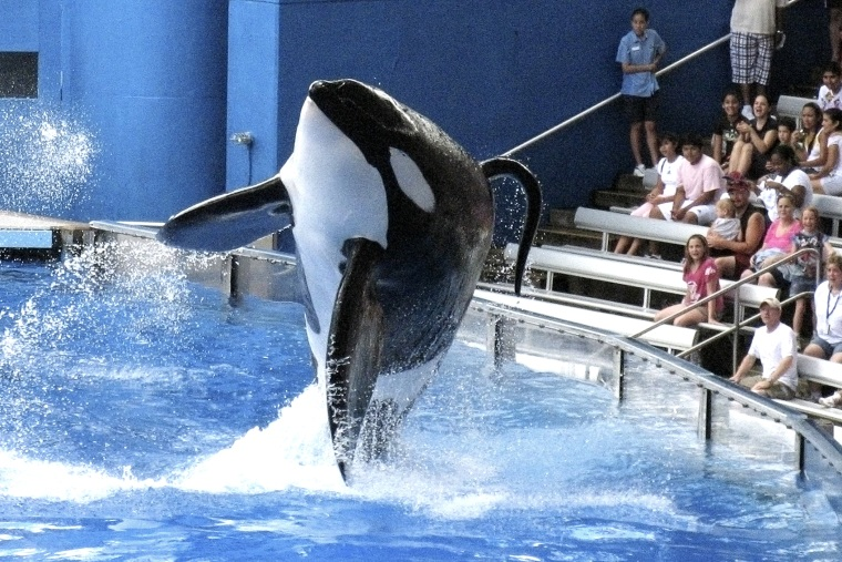 Tilikum, an orca whale at SeaWorld amusement park, performs in Orlando on Sept. 3, 2009/
