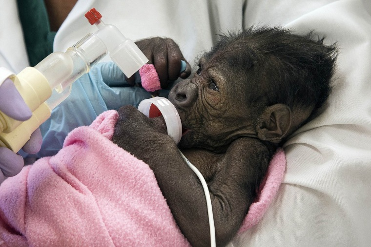 A baby gorilla suffering from pneumonia is seen in San Diego, California, March 13, 2014.