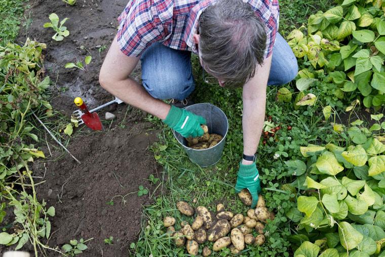 Rainer Stosberg sorts harvested potatoes, August 4, 2013.