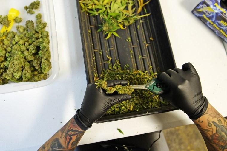 A woman trims marijuana at 3D Cannabis Center in Denver.