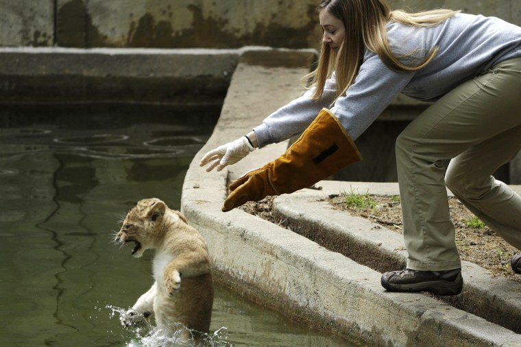 Smithsonian National Zoo biologist Leigh Pitsko releases a male lion cub for its swim test in the zoo habitat moat, in Washington May 6, 2014.