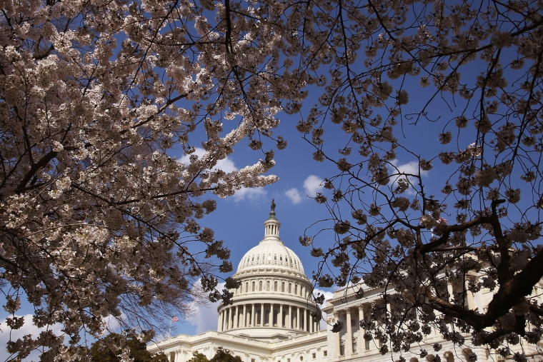 Yoshino Cherry trees are in bloom in front of the U.S. Capitol on April 9, 2014 in Washington, D.C.