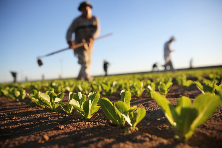 Workers cultivate romaine lettuce on a farm on October 8, 2013 in Holtville, California.