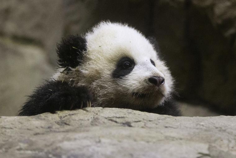 Bao Bao makes her public debut at an indoor habitat at the National Zoo in Washington, Monday, Jan. 6, 2014.