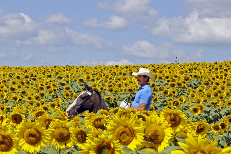 Bob Grutza rides on horseback through his field of sunflowers, July 15, 2014 near Maysville, Ky. Grutza has five acres of sunflowers on his property.