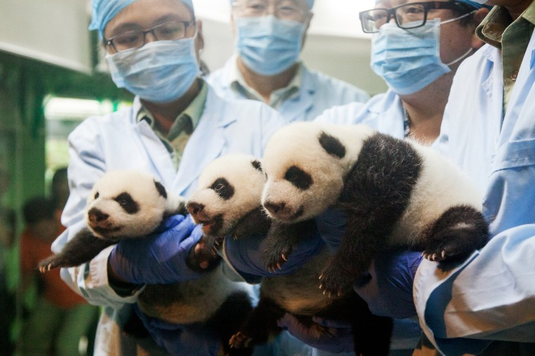 The panda triplets receive a checkup at the Chimelong Safari Park in Guangzhou city, Sept. 18, 2014.