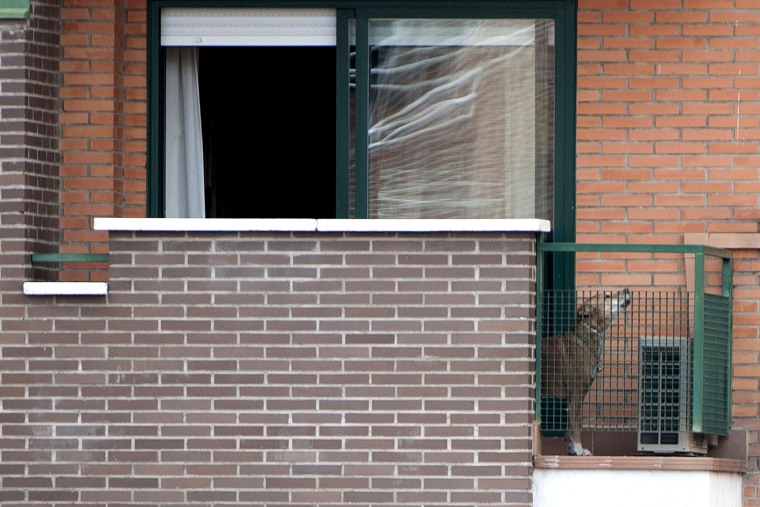 Excalibur, the dog of Teresa, a Spanish nurse, and her husband Javier Limon stands on their balcony on Oct. 8, 2014 in Alcorcon.
